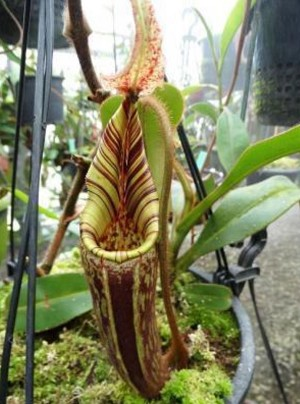 assets/images/nepenthes hurrelliana.jpg