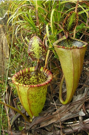 Nepenthes attenboroughii - SHIPS IN APRIL